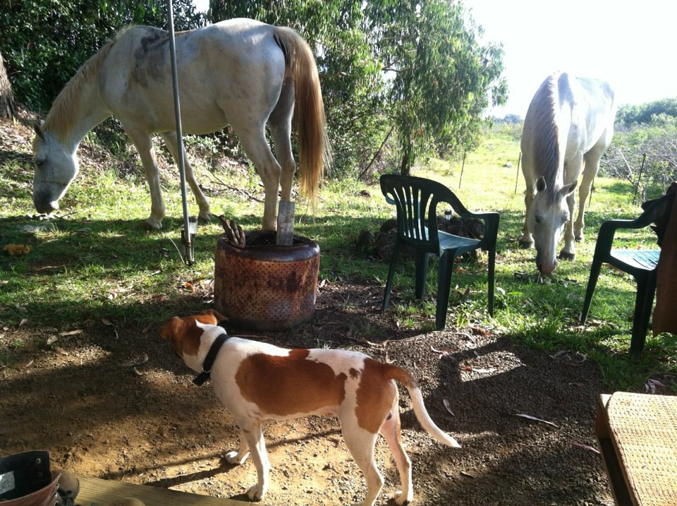 Peanut with the horses at my camp in Hawaii, 2012