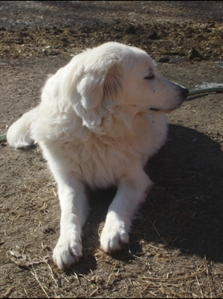 Sophie the Maremma, January 2011